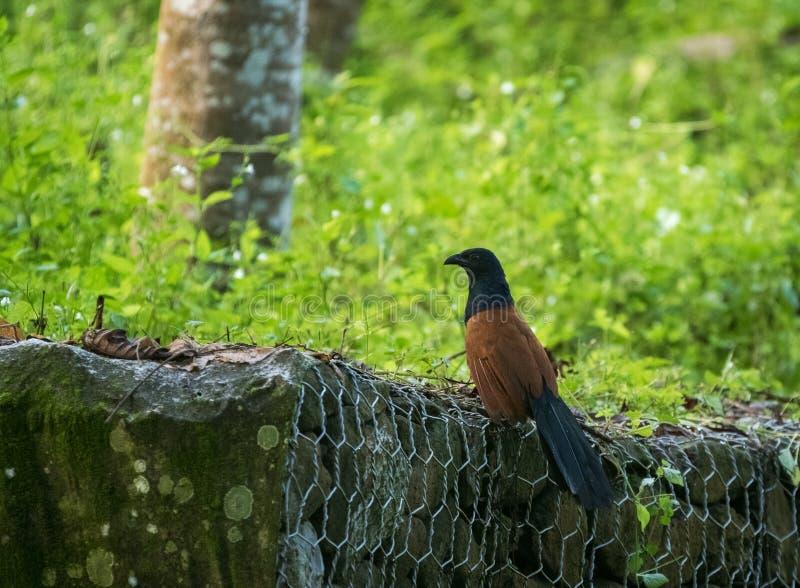 Un plus grand faisan coucal d'oiseau ou de corneille - sinensis de Centropus - dans Sepilok, Sabah, Bornéo en Malaisie images libres de droits