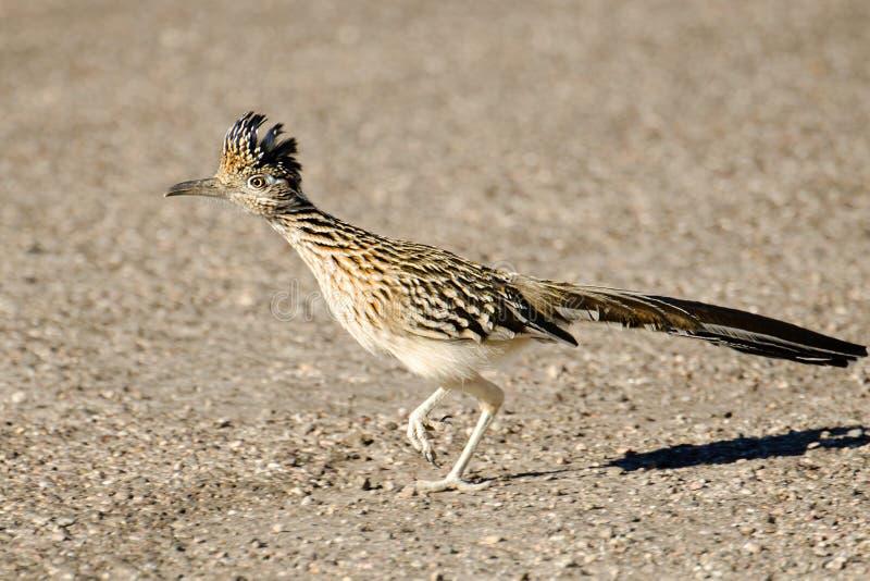 Un plus grand fonctionnement d'oiseau de Roadrunner, Arizona, Etats-Unis photo stock