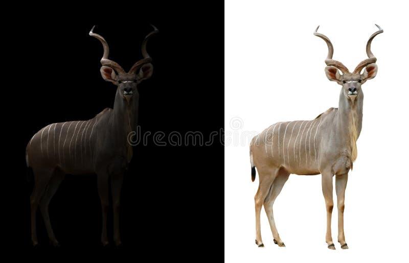 Download Un Plus Grand Kudu à L'arrière-plan Foncé Et Blanc Image stock - Image du africain, klaxons: 76082285