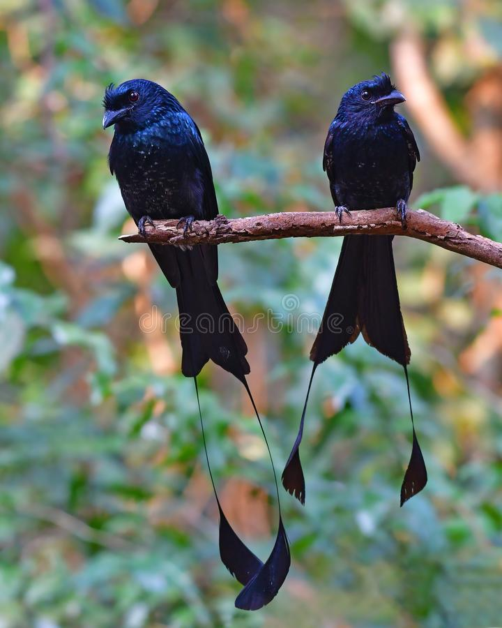 Un plus grand oiseau Raquette-coupé la queue de Drongo images libres de droits