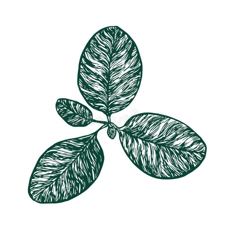 Un plus grand plantain ou une usine principale de Plantago de fleaworts, conception de style de gravure sur bois, griffonnage tir illustration libre de droits