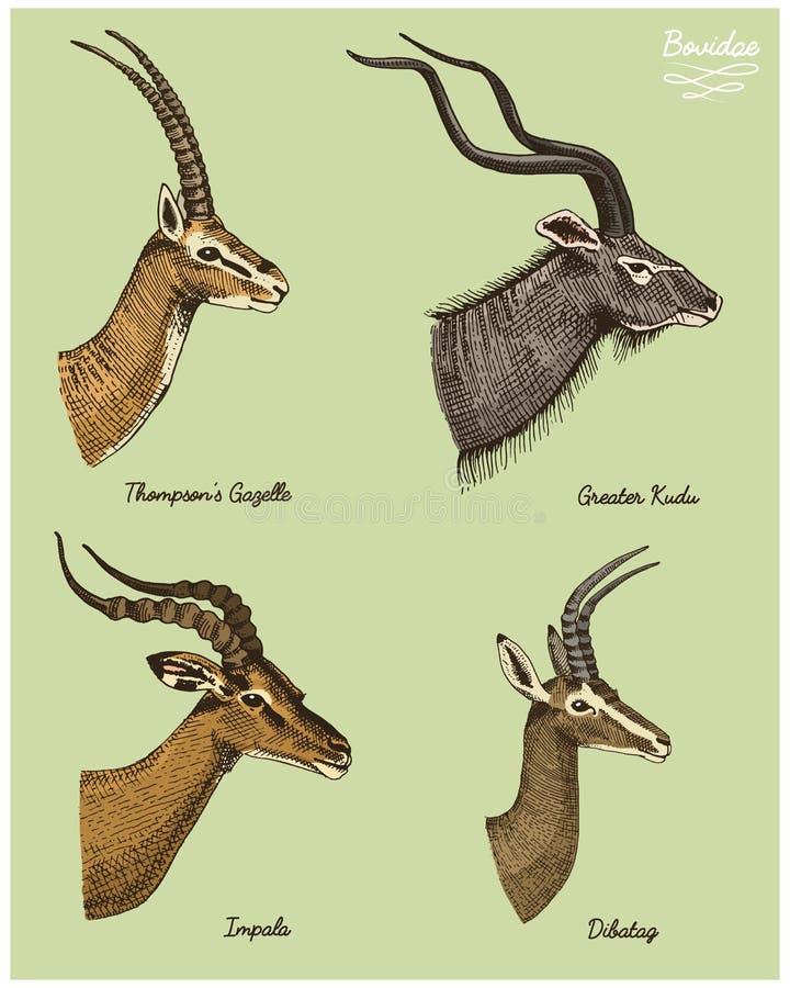 Un plus grands kudu d'antilopes, thompsons de gazelle, dibatag et impala dirigent l'illustration tirée par la main, animaux sauva illustration de vecteur