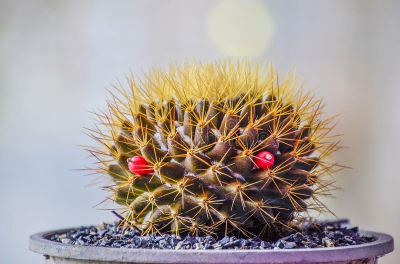 Un po' di cactus si riempie di spine attorno all'albero e due baccelli rosa, cactus dorato, Bello di Cactus in vaso nero su immagine stock