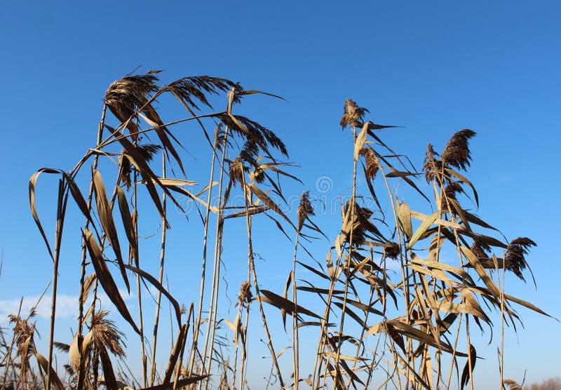 Un poco de bastón con el cielo azul foto de archivo