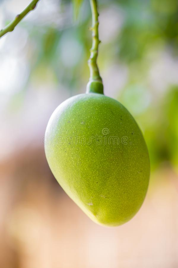 Un poco de mango que crece en árbol en el distrito de las áreas de Thakurgong, Bangladesh foto de archivo libre de regalías