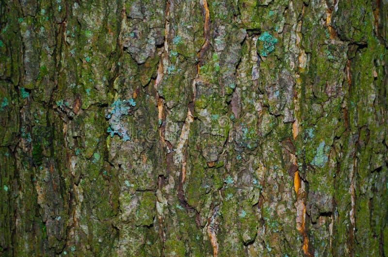 Un poco del liquen en una corteza cubierta de musgo de una textura del árbol fotos de archivo