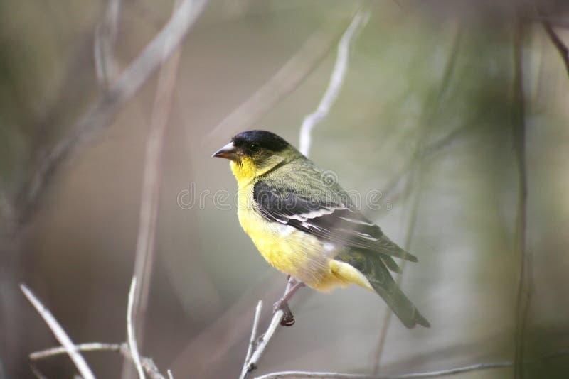 Un poco Goldfinch fotos de archivo
