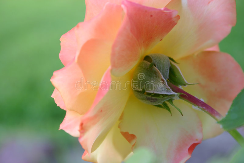 Un point de vue de roses images stock