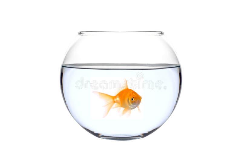 Un poisson d'or dans une cuvette