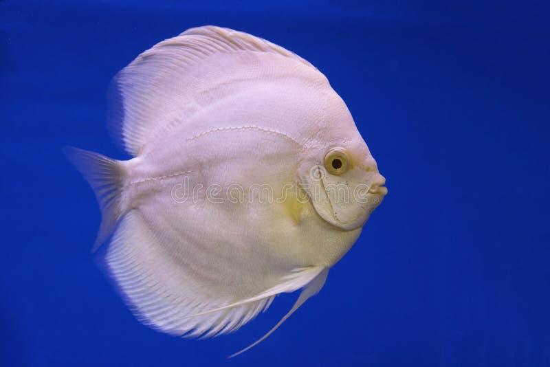 Un poisson d'eau douce de disque photographie stock libre de droits