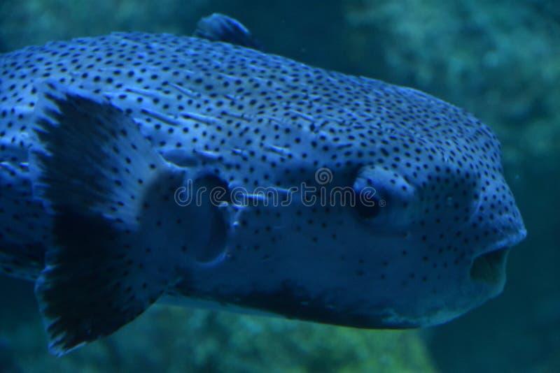 Un poisson de décolleur images stock