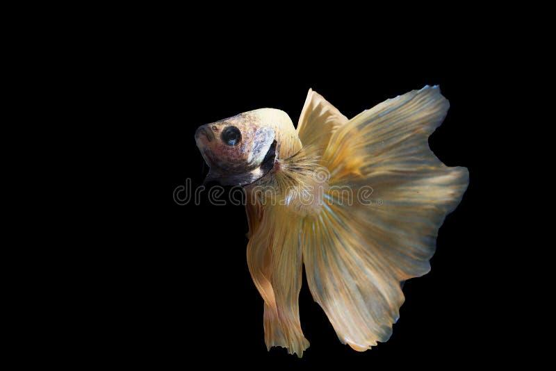 Un poisson figthing crème du Siam sur le fond noir photo libre de droits