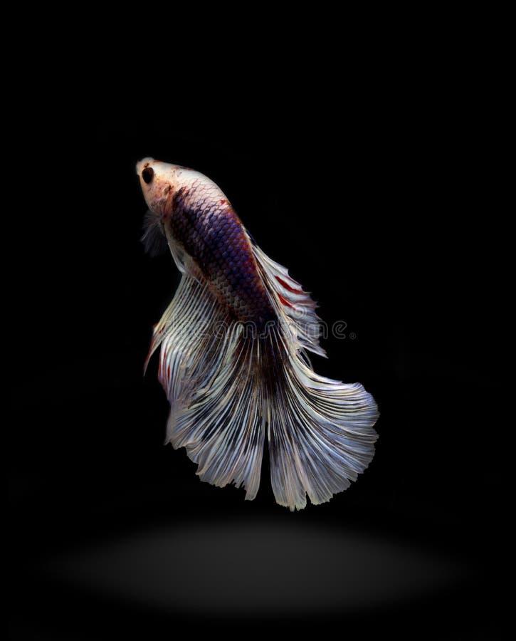 Un poisson figthing de trois colorsiam sur le fond noir photographie stock