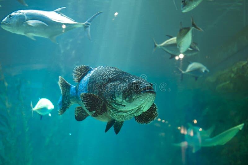 un poisson laid dans un aquarium photos libres de droits