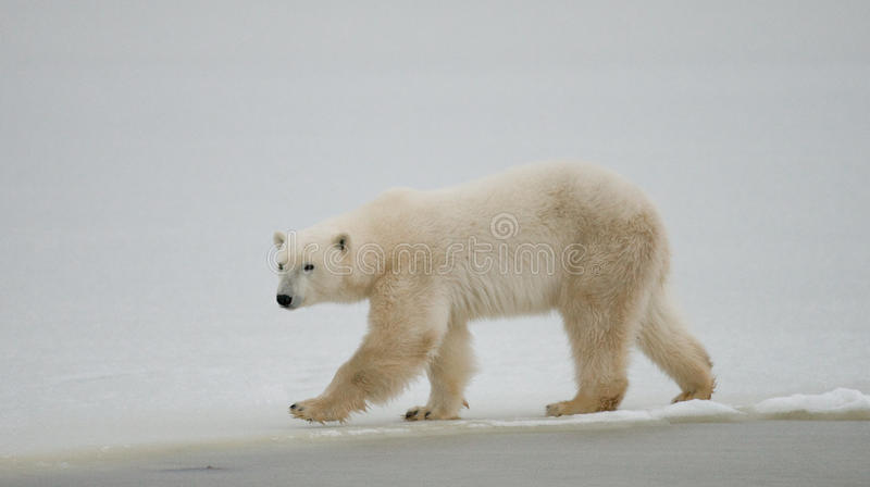 Un polaire concerne la toundra neige canada image libre de droits