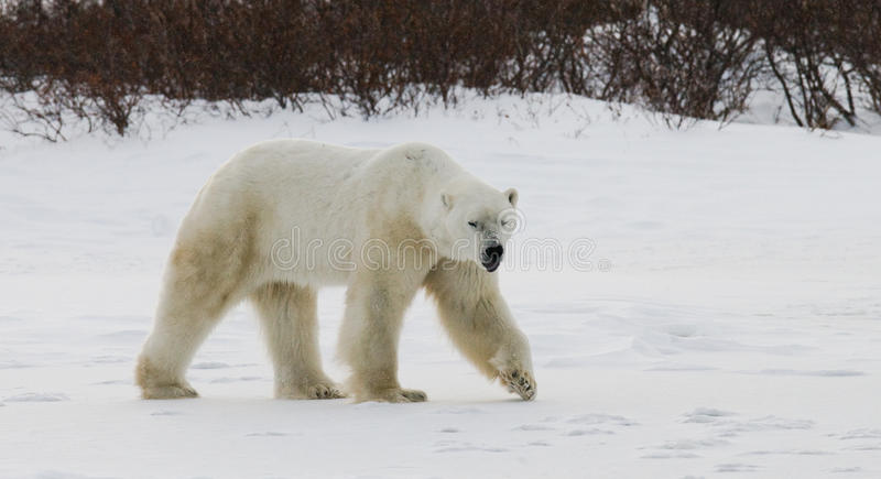 Un polaire concerne la toundra neige canada photo libre de droits