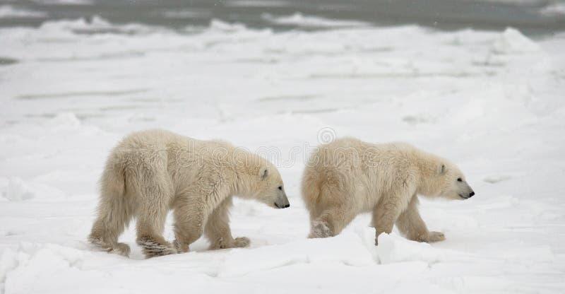 Un polaire concerne la toundra neige canada image stock