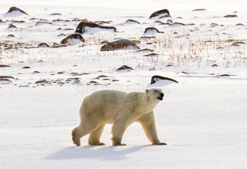 Un polaire concerne la toundra neige canada photo stock