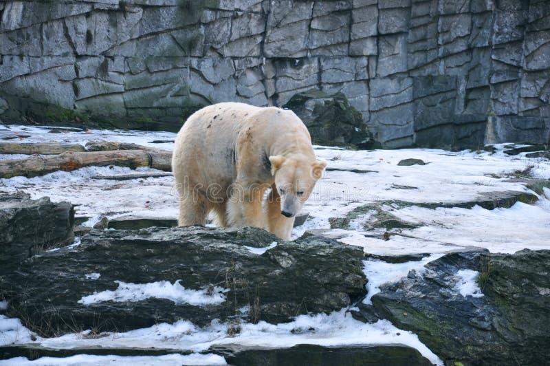 Un polare annoiato riguarda lo zoo fotografia stock libera da diritti
