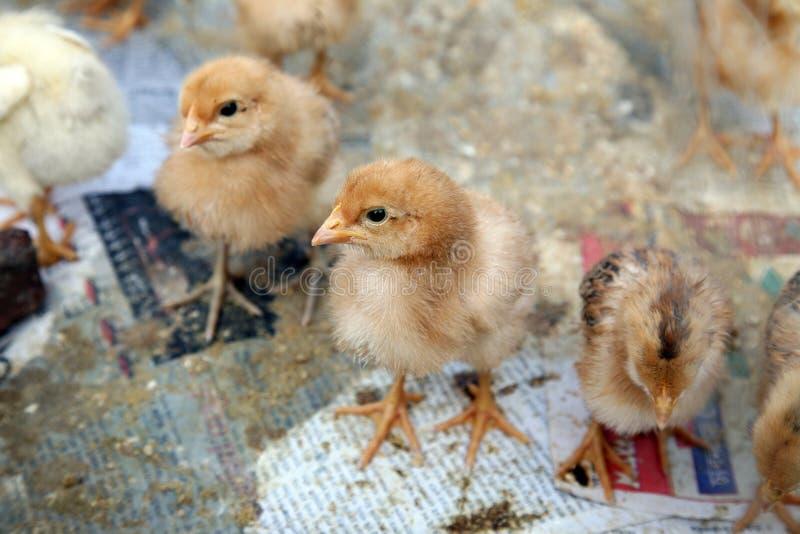 Un pollo del bambino sull'azienda agricola in Kumrokhali, India fotografia stock libera da diritti