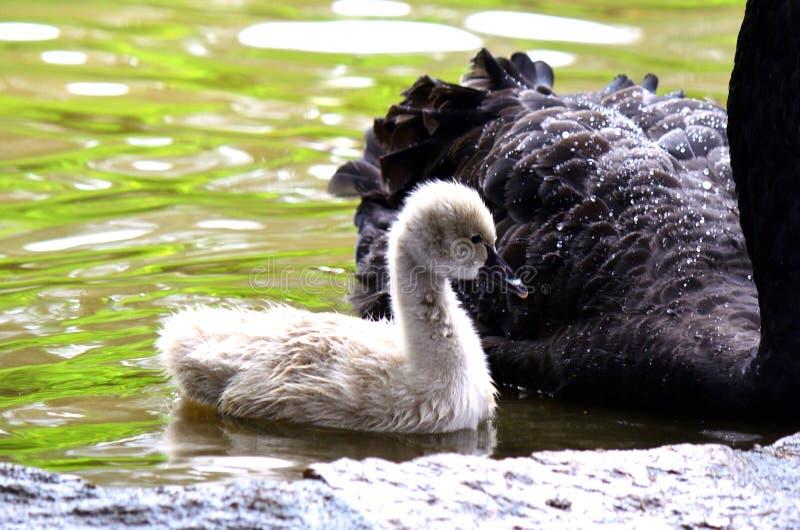 Un pollo del cisne mudo del cisne mudo, cisne al día lluvioso imagen de archivo libre de regalías