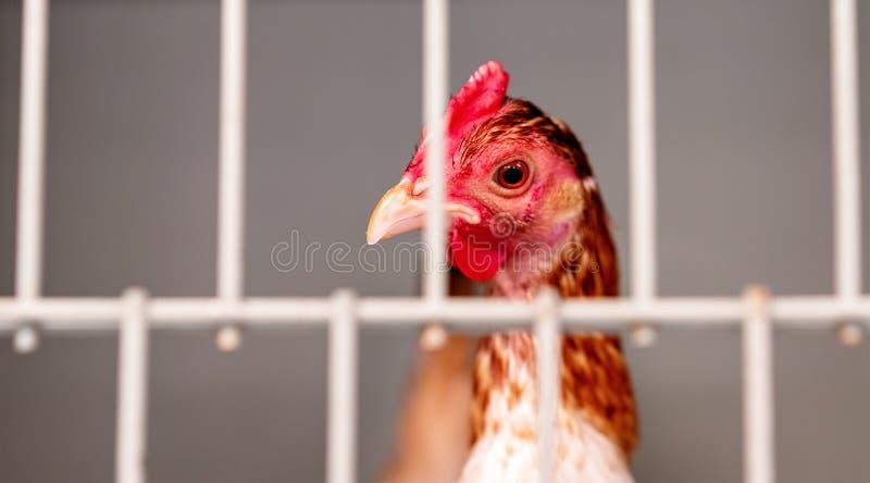 Un pollo enjaulado en la competencia de las aves de corral en una demostración agrícola imagen de archivo