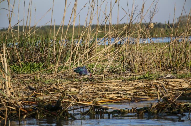 Un pollo sultano, specie di gallinella d'acqua in una delle lagune o fotografia stock