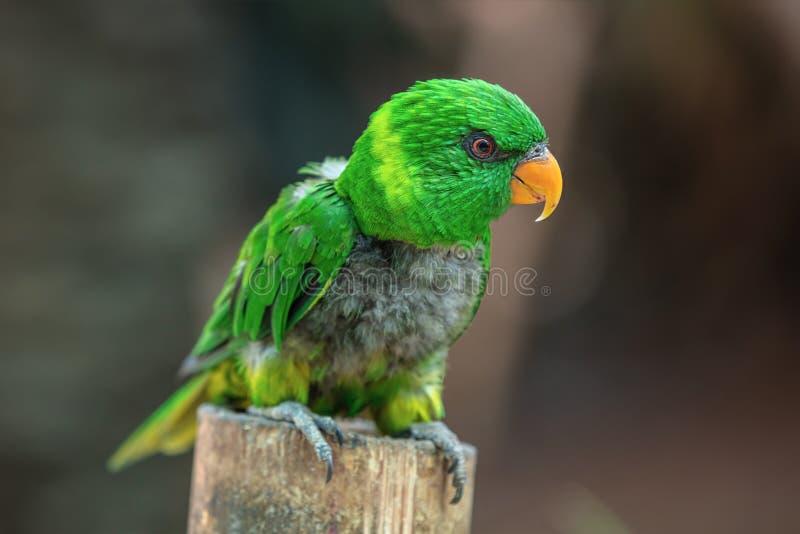 Un polluelo verde del loro fotografía de archivo