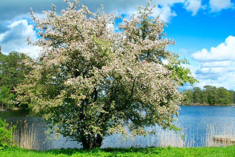 Un pommier de floraison au bord de lac image libre de droits