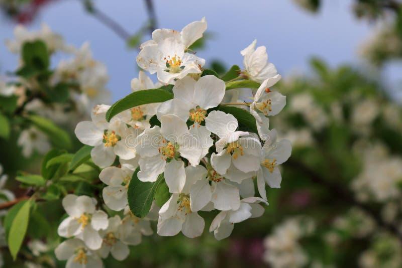 Un pommier fleurissant au printemps avec de belles fleurs blanches sur un fond des pommiers et du ciel de floraison image stock