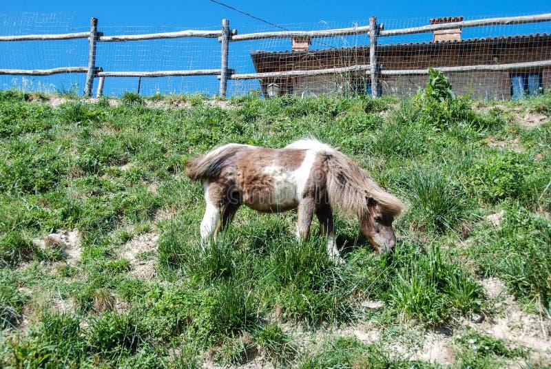 Un poney de pâturage image stock