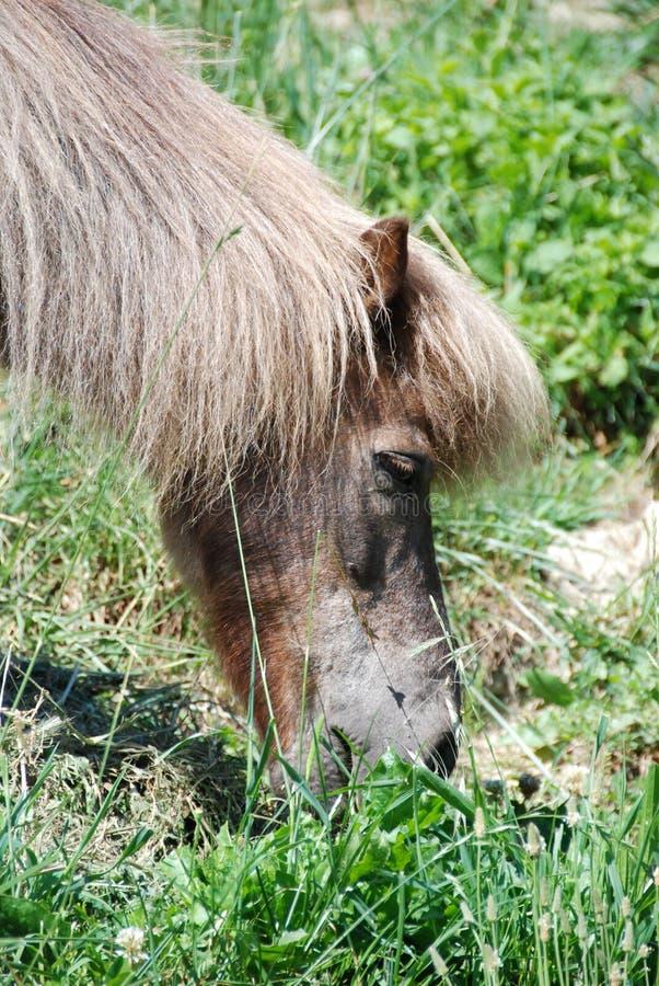 Un poney de pâturage image libre de droits