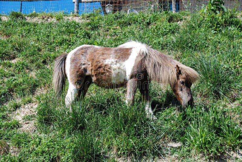 Un poney de pâturage images stock
