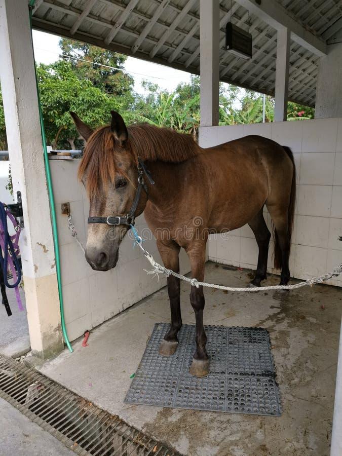 Un poney mûr brun photo libre de droits