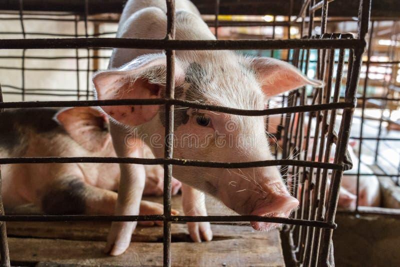 Un porc captif regarde de sa cage dans la baie de Nga, Vietnam images stock