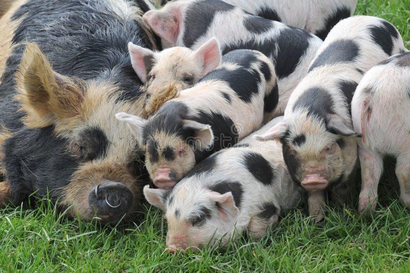 Un porc de kune de kune de mère s'est étendu avec tous ses porcelets images libres de droits