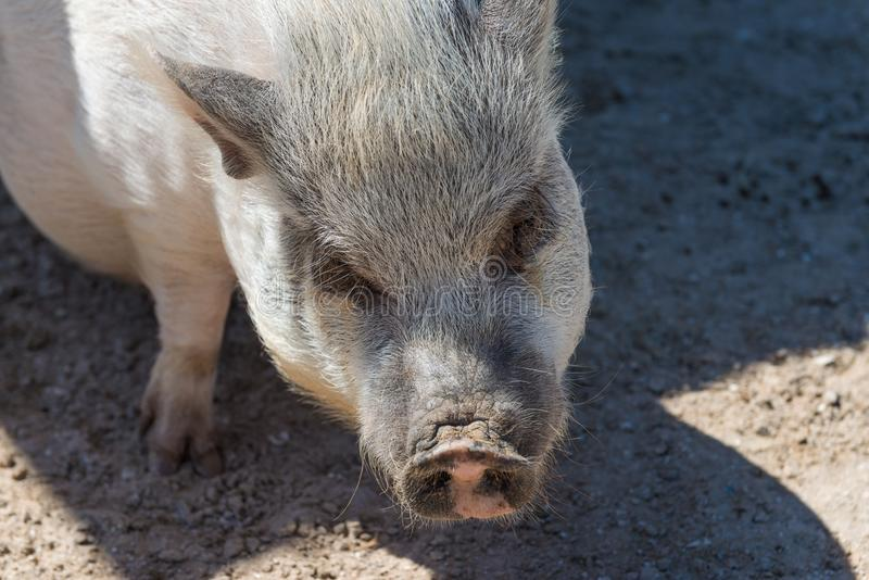Un porc mignon de ventre de pot images libres de droits