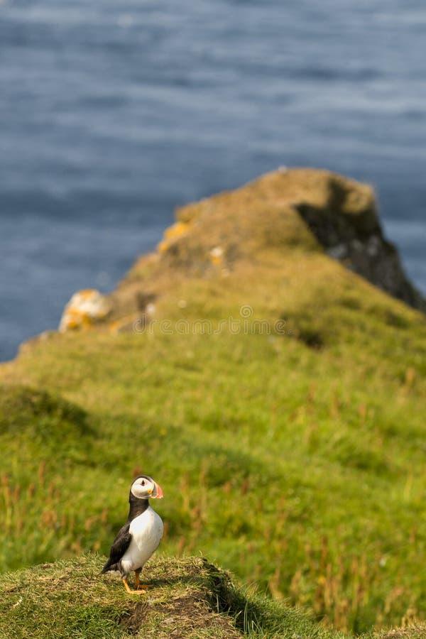 Un portrait coloré de macareux d'isolement dans l'environnement naturel sur l'herbe et le fond bleu photos libres de droits