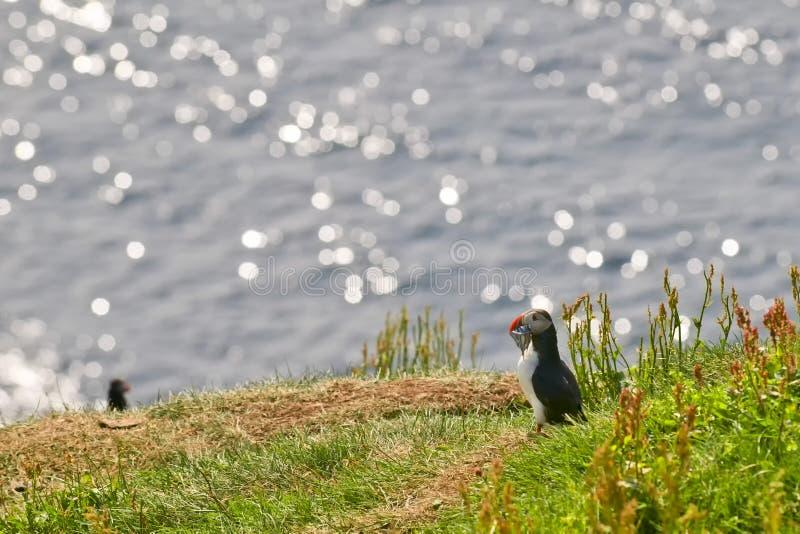 Un portrait coloré de macareux dans l'environnement naturel sur le fond bleu tandis que la consommation pêche photo libre de droits