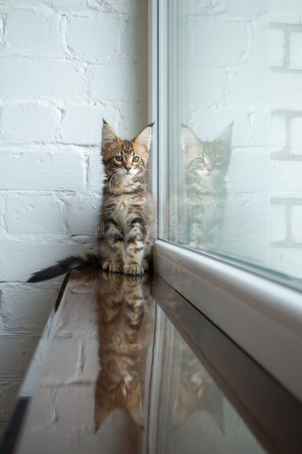 Un portrait d'un beau jeune chaton adorable de ragondin du Maine sur un filon-couche de fenêtre et la réflexion dans la fenêtre images stock