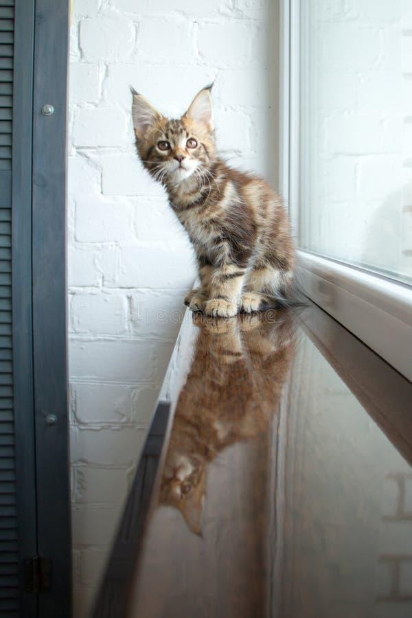 Un portrait d'un beau jeune chaton adorable de ragondin du Maine sur un filon-couche de fenêtre et la réflexion dans la fenêtre photographie stock libre de droits