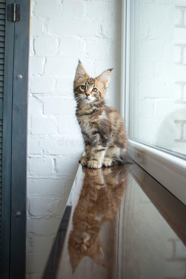 Un portrait d'un beau jeune chaton adorable de ragondin du Maine sur un filon-couche de fenêtre et la réflexion dans la fenêtre images libres de droits