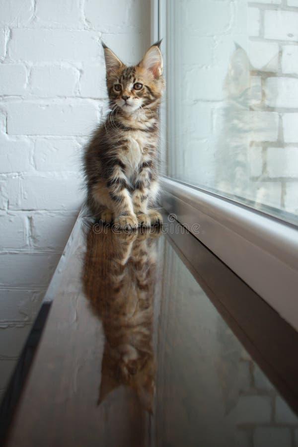 Un portrait d'un beau jeune chaton adorable de ragondin du Maine sur un filon-couche de fenêtre et la réflexion dans la fenêtre photo stock