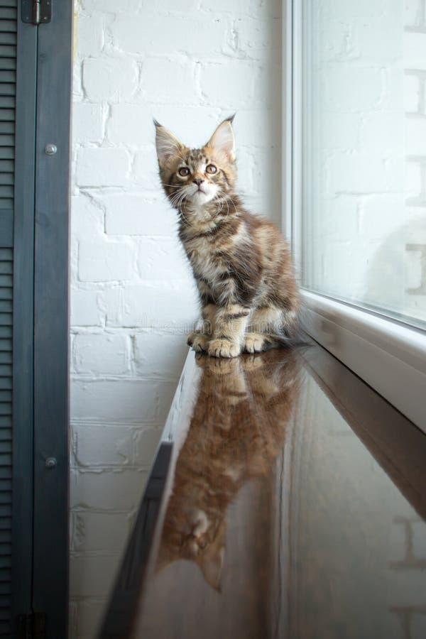 Un portrait d'un beau jeune chaton adorable de ragondin du Maine sur un filon-couche de fenêtre et la réflexion dans la fenêtre photographie stock