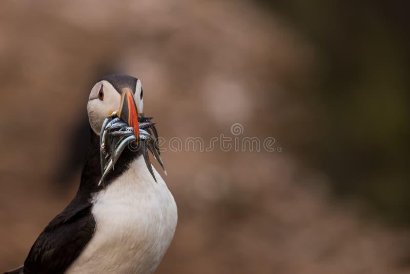 Un portrait d'un macareux avec des poissons dans sa bouche image libre de droits