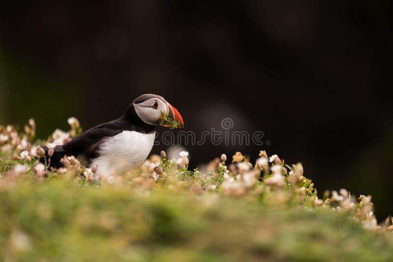 Un portrait d'un macareux entouré par la végétation photographie stock libre de droits