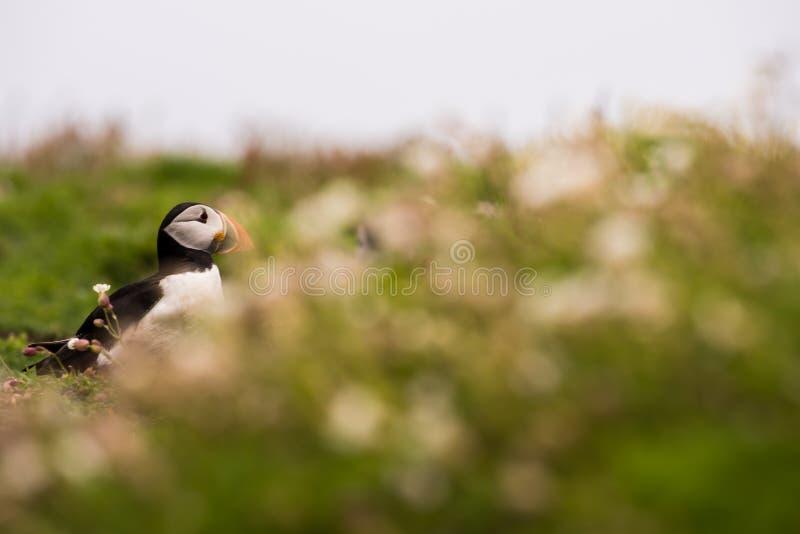 Un portrait d'un macareux entouré par la végétation image libre de droits