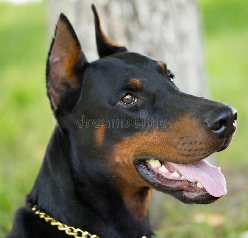 Un portrait d'un chien de pur sang en nature image stock