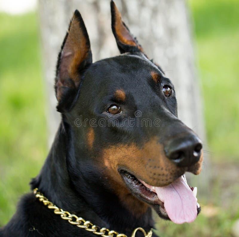 Un portrait d'un chien de pur sang en nature image libre de droits