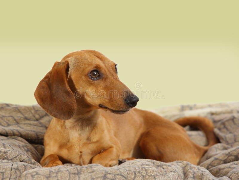 Un portrait d'un chien de teckel image stock